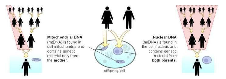 Череп «звездного ребенка»: отчет по анализу ДНК-2011