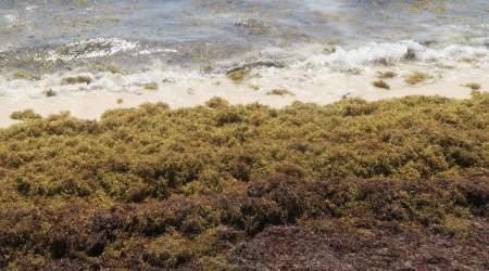 Карибский кризис – саргассум атакует