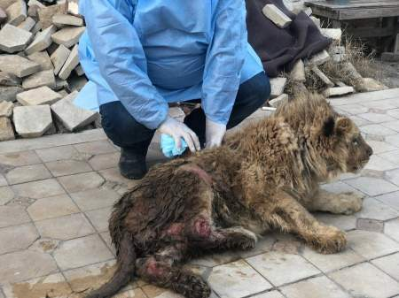 Спасенный в России львенок отправится в Африку